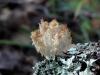 Ежовик коралловидный Hericium coralloides