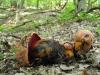 b-rhodopurpureus_0