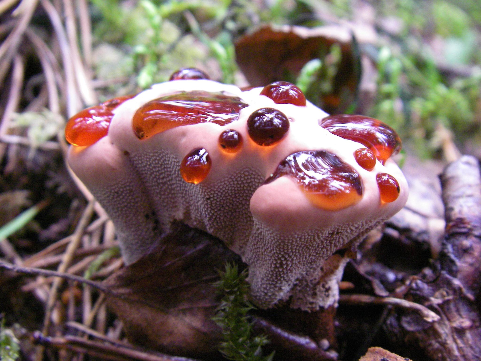 Ежовик дьявольский (Hydnellum peckii)