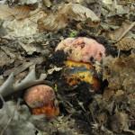 Болет розово-пурпурный Boletus rhodopurpureus, Boletus purpureus, редкий гриб, ставропольские грибы, Ирина Уханова