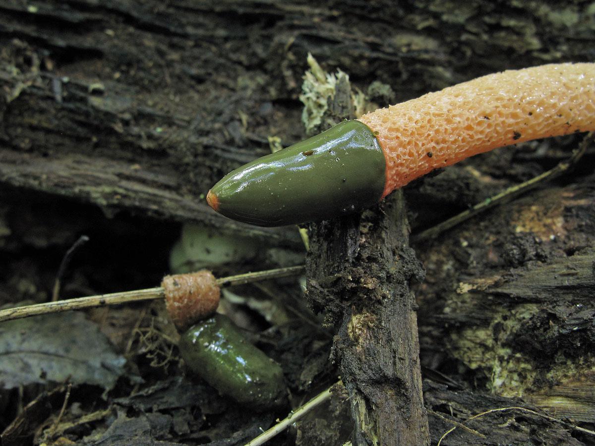 Какие грибы маслята