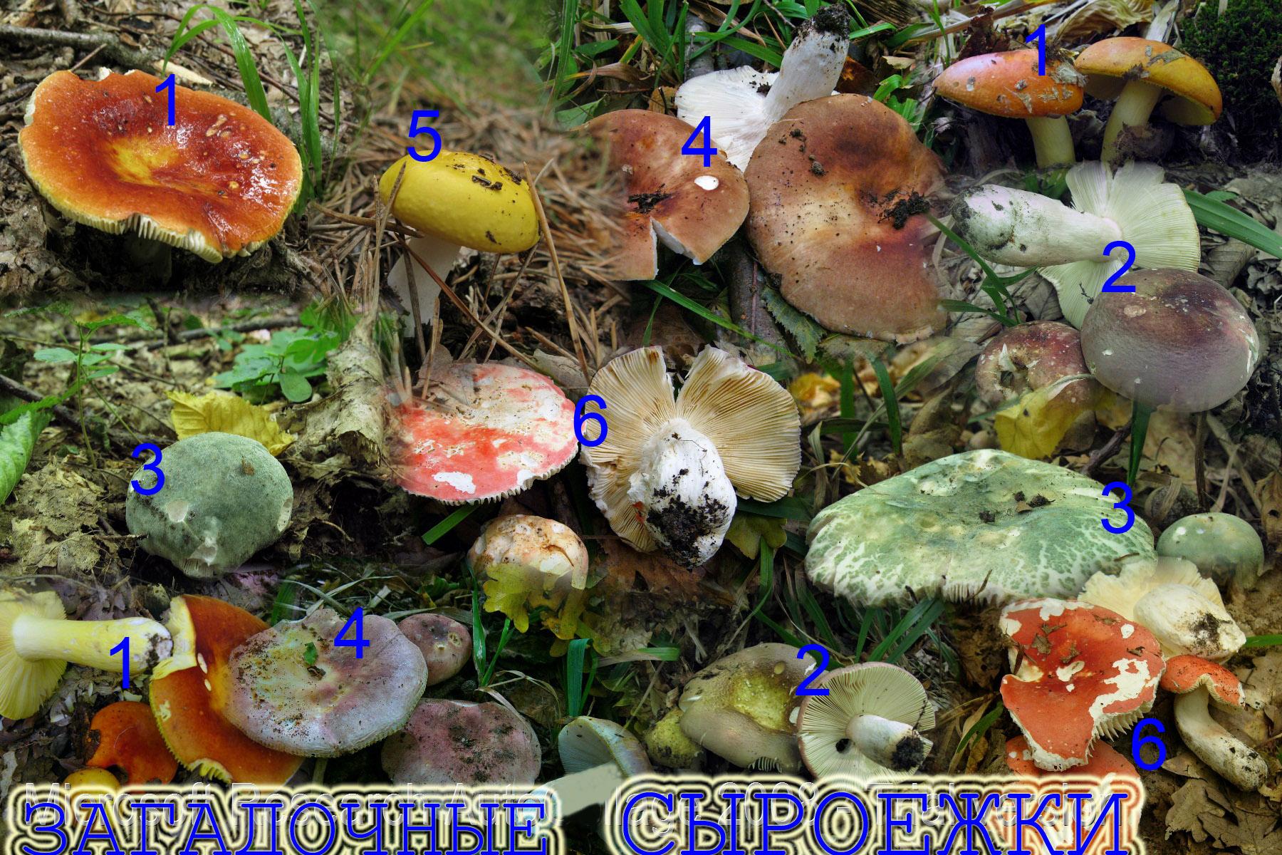 СЫРОЕЖКИ -ГР