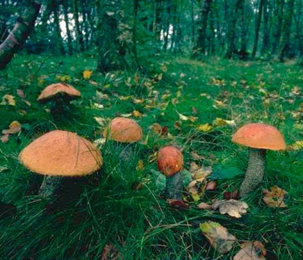 грибы картинки для детей в лесу