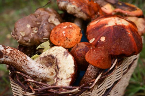 Сбор грибов в лесах Новгородской области