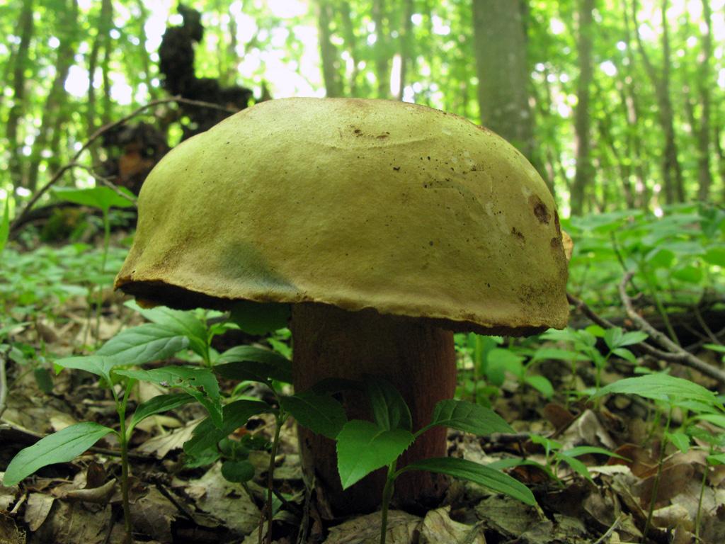 B. luridus