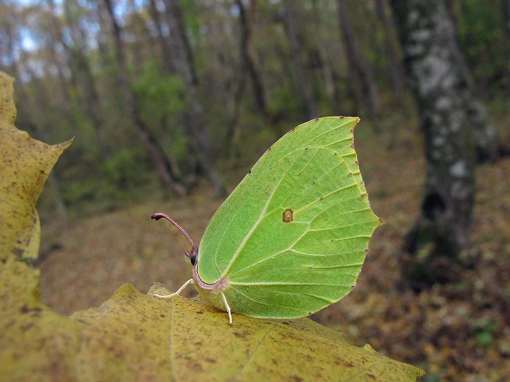 Gonepteryx rhamni_1