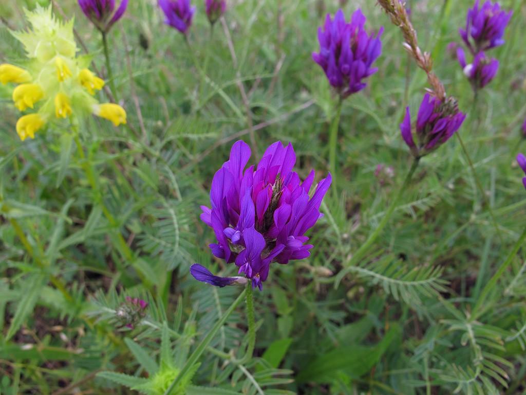 Астрагал эспарцетный Astragalus onobrychis. Автор фото: Ирина Уханова