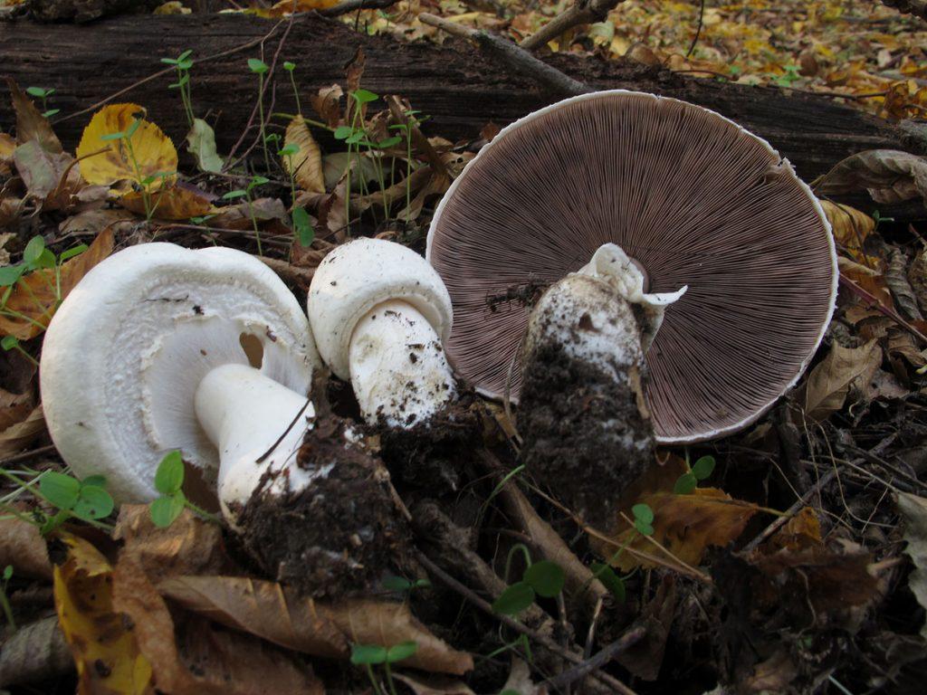 Самые полезные грибы в повседневном питании. Сколько полезных грибов можно употреблять: шампиньонов, подберёзовиков